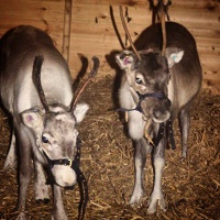 Live reindeer at Littledown Farm Christmas Trees -